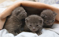 chatons chartreux disponibles